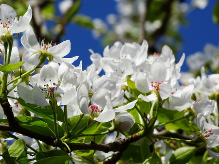 Flowering pear Stock Photo