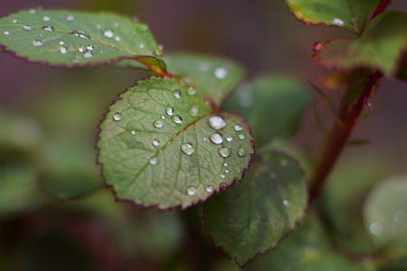 Dew on the leaves of roses