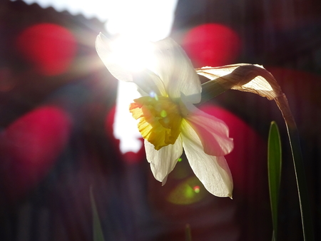 Narcissus in the sunlight
