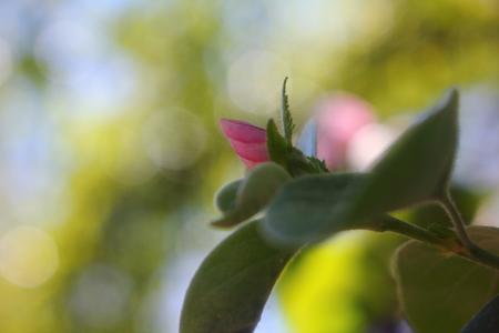 membrillo: Floración de membrillo en el jardín