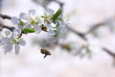 Flying bee over the flowers of the tree, pollination, and the gathering nectar in a garden