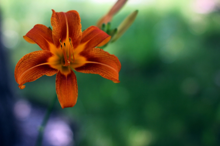 Orange Lily close up in the city park