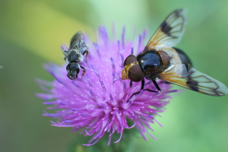 Floral Fly drinking nectar from flower