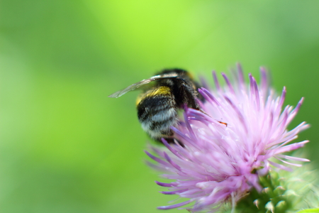 Big hairy bumble bee collects nectar from a flower Stock Photo