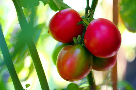 Organic tomatoes in a home garden