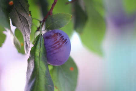 Ripe plums on the tree in the garden
