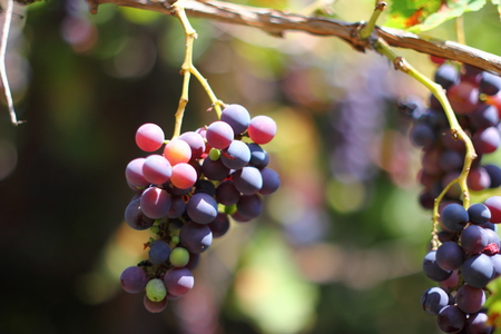 Clusters of ripe vine are in a garden Stock Photo