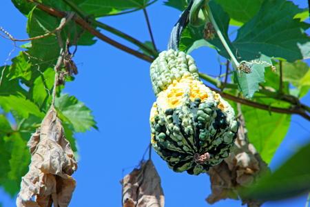 Ripe pumpkin is in a home garden