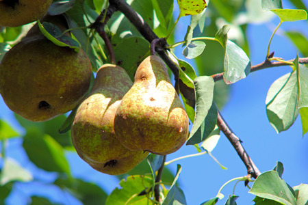 Ripe pear on a tree in the garden