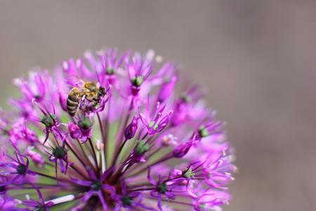 Bee on flower Allium Stock Photo