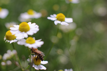 Wild Bee collects nectar from a flower