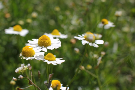 Chamomile flowers in a forest glade