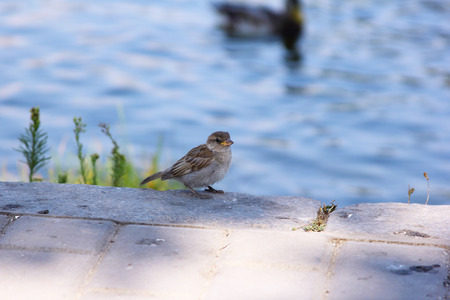 Sparrow on a pond in a city park