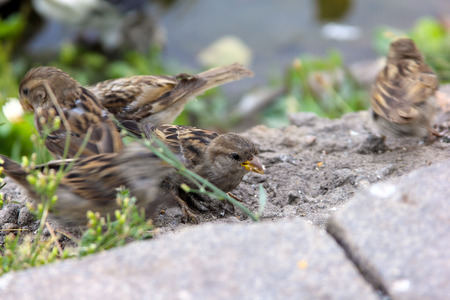Flock of sparrows on a sidewalk in the park