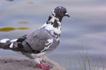 Pigeon on a pond in a city park Stock Photo