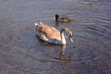 Swan floats in a lake