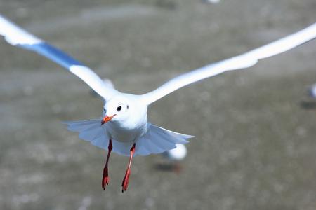 Flight of gull above a sea