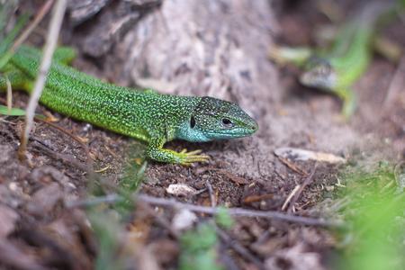 Lizard in the woods