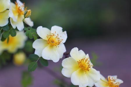 Tea rose in a city garden Stock Photo