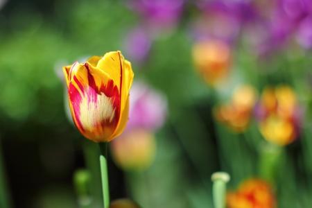 Tulip in the home garden