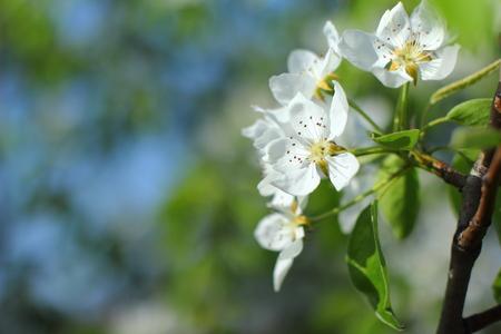 Flowering pears Stock Photo