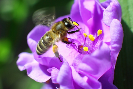 Bee collects nectar from flower in the garden