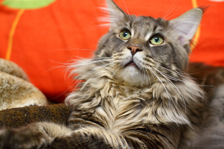 Maine Coon with green eyes