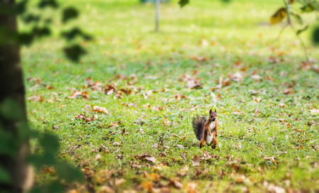 Squirrel standing on its hind legs while feeding in a field of grass covered with autumn leaves. The urban wildlife.