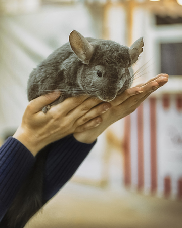 Little gray-white chinchilla sits on the hands