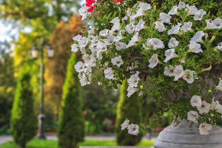 Flower beds with white and red petunias in the open air and natural light Imagens