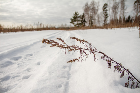 focus on the foreground: Stem Artemisia leaned over footpath in winter field, focus foreground
