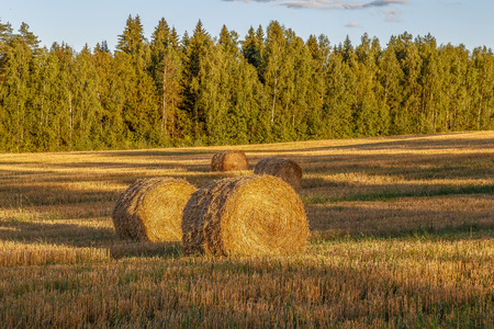 hayroll: Rye removed, remained on the field of straw, pressed into rolls