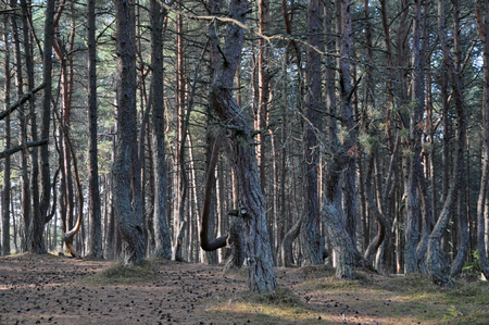 to spit: The dancing forest of Curonian spit, Russia