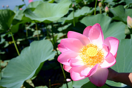 Lotuses in the Volga River flood plain in the Astrakhan region in Russia photo