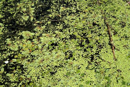 cane creek: duckweed