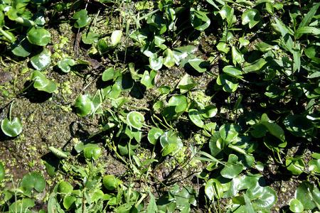 duckweed: duckweed