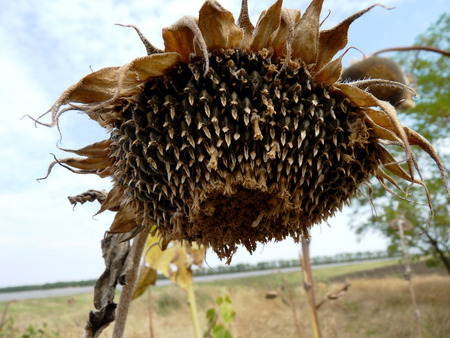 The ripened sunflower on fields waiting for harvesting in Russia