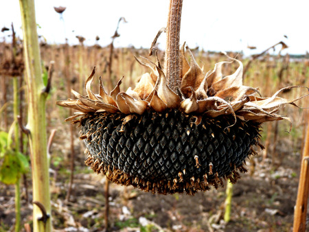 landowners: The ripened sunflower on fields waiting for harvesting in Russia