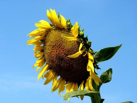 landowners: Sunflower in the field in the Rostov region in Russia