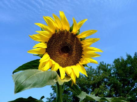 Sunflower in the field in the Rostov region in Russia photo
