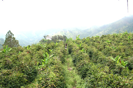 Coffee plantation the Blue mountain in Jamaica