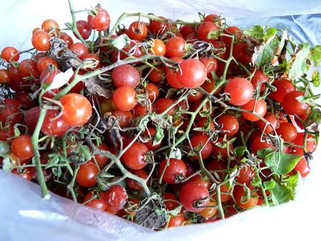 midget: Crop of midget tomatoes of 2014