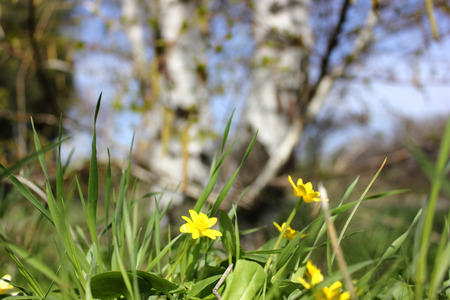 etude: The first spring flower in a grass against a birch Stock Photo