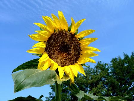 Sunflower in the field in the Rostov region in Russia