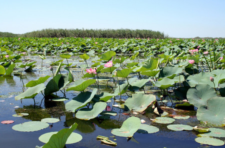 inflow: Fields of lotuses in the Volga River flood plain in the Astrakhan region in Russia