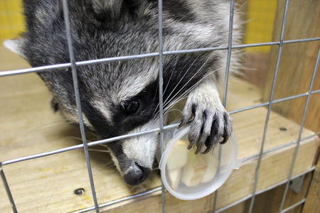 look after: tamed  raccoon in a cage in a city manual zoo Stock Photo