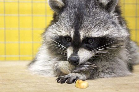 nostrils: tamed  raccoon in a cage in a city manual zoo Stock Photo