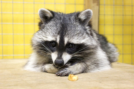 inoculation: tamed  raccoon in a cage in a city manual zoo Stock Photo