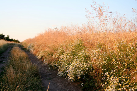 The rural road protected with camomiles at a sunset