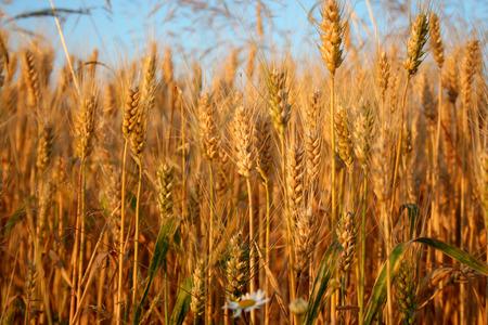 landowners: wheat field